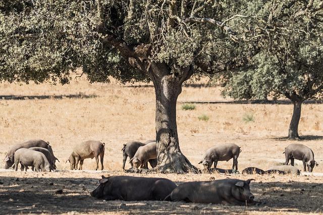 Cochon dans les dehesas en Andalousie