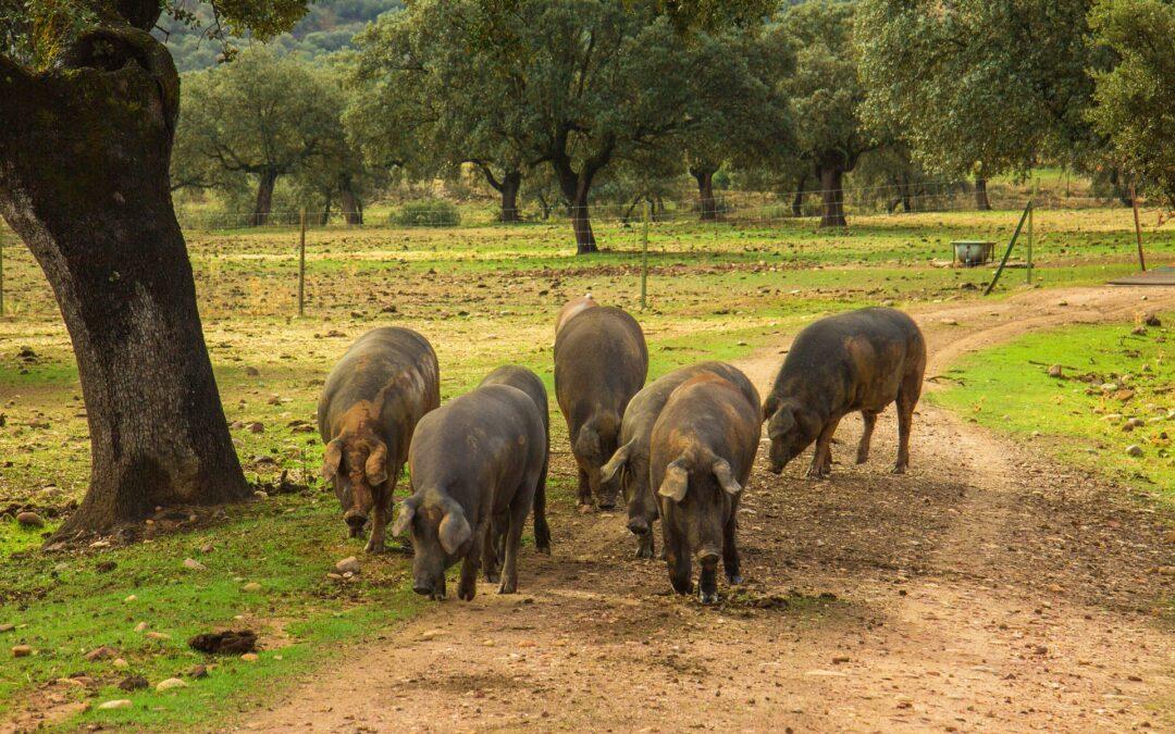 Cochon ibérique provenance andalousie